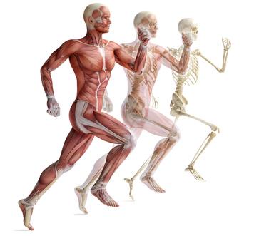 Muskeln und Knochen